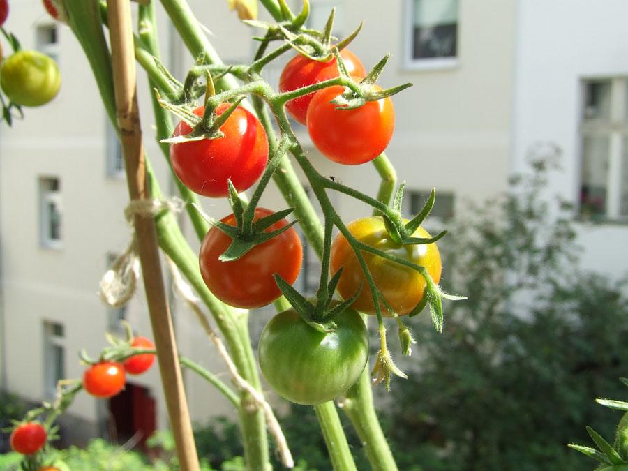piccolo_orto_pomodori